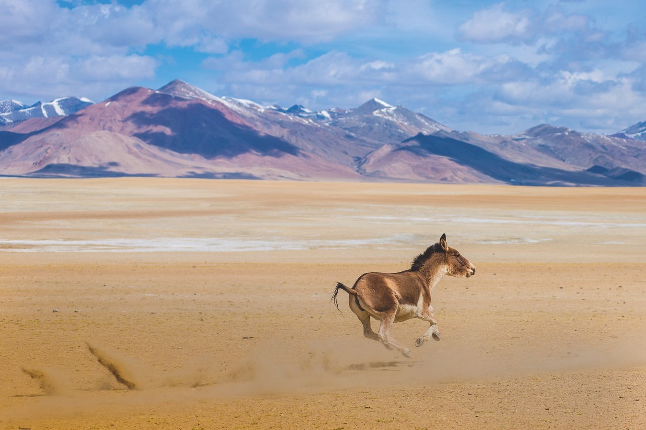 Tibet-Wildesel