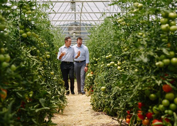 Tomatenplantage Thomas Keller